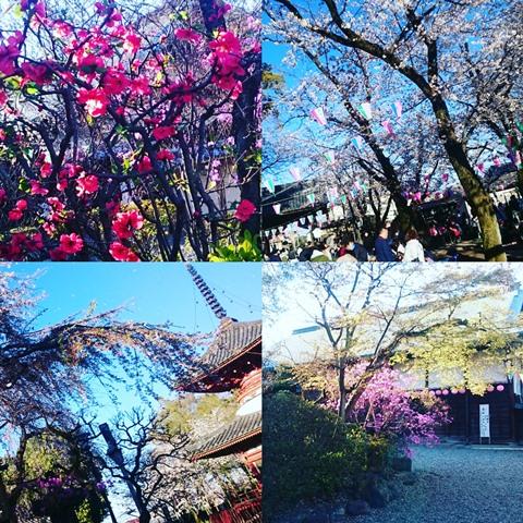 きもの姿で仙波の桜めぐり 川越の街にきもの姿を増やす会 喜多院 川越