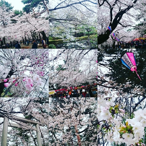 大宮公園 桜 お花見 アコレおおみや